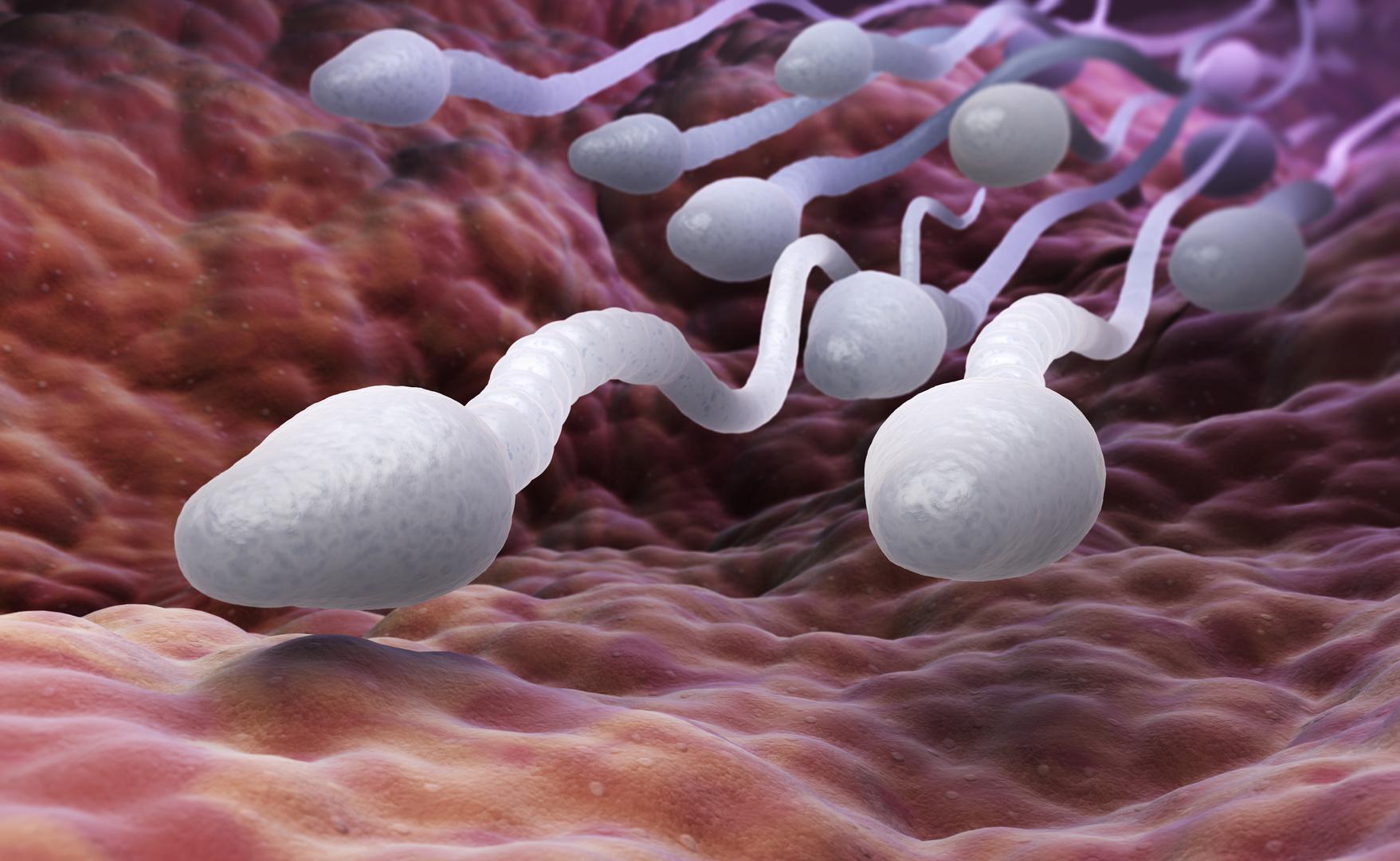 espermatozóides dentro do organismo